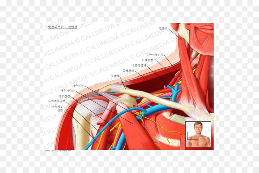 Supraclavicular canal Supraclavicular nervios Supraclavicular los ...
