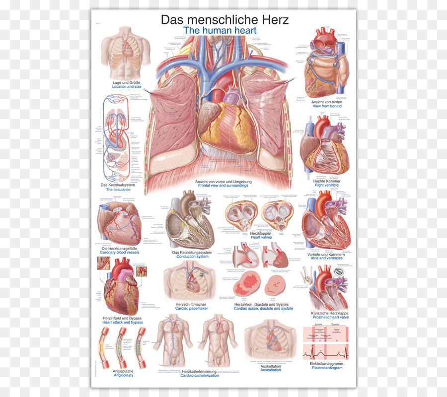 Anatomy Human Heart Human Body The Human Skeleton Wall Chart Png