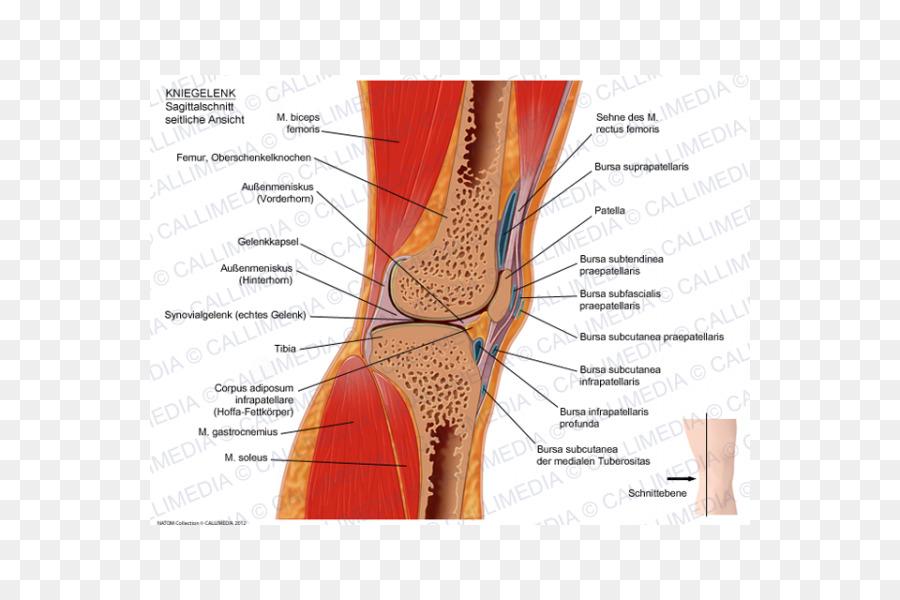 Rodilla plano Sagital de la anatomía Humana plano Coronal - capsula ...