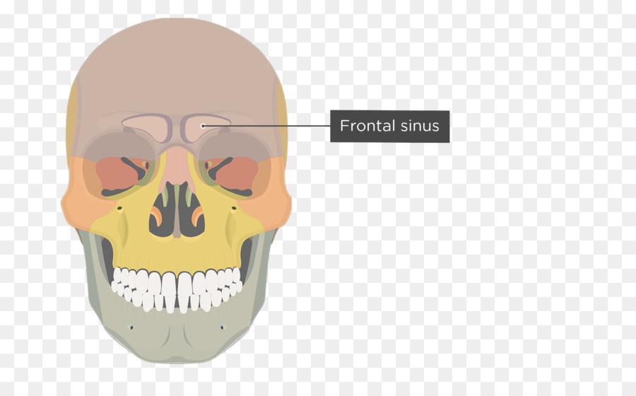 Zygomatic process of maxilla Zygomatic bone Zygomatic process of ...