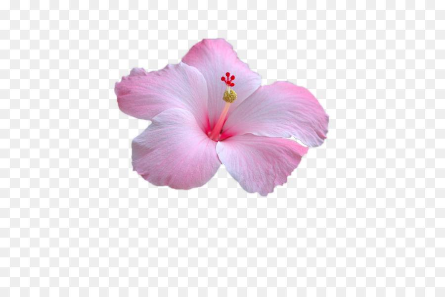 Rosemallows pink flower petal image flower png download 960638 rosemallows pink flower petal image flower mightylinksfo