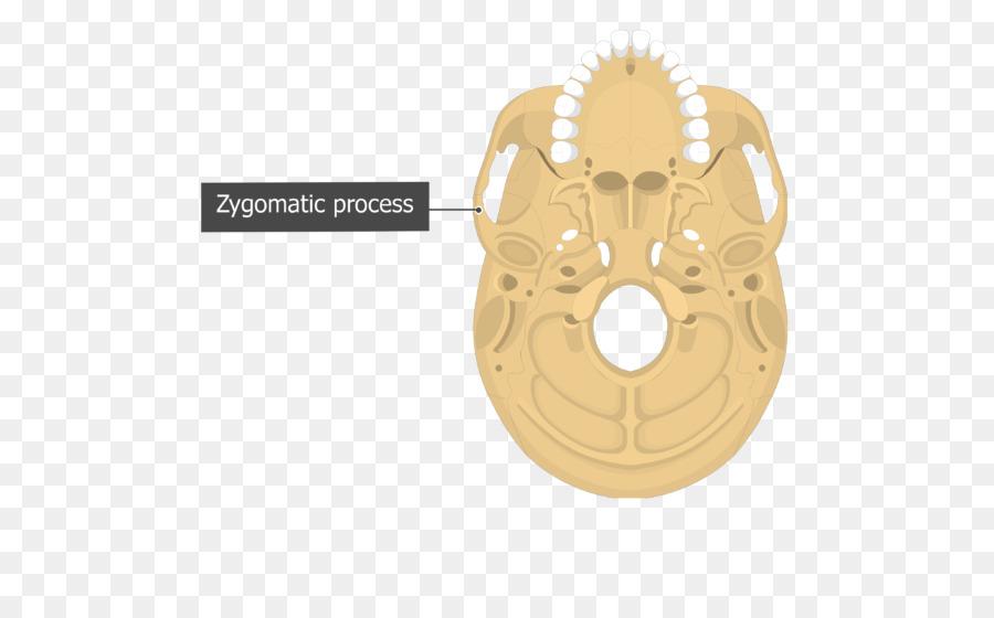 Occipital bone Nuchal lines External occipital protuberance Anatomy ...
