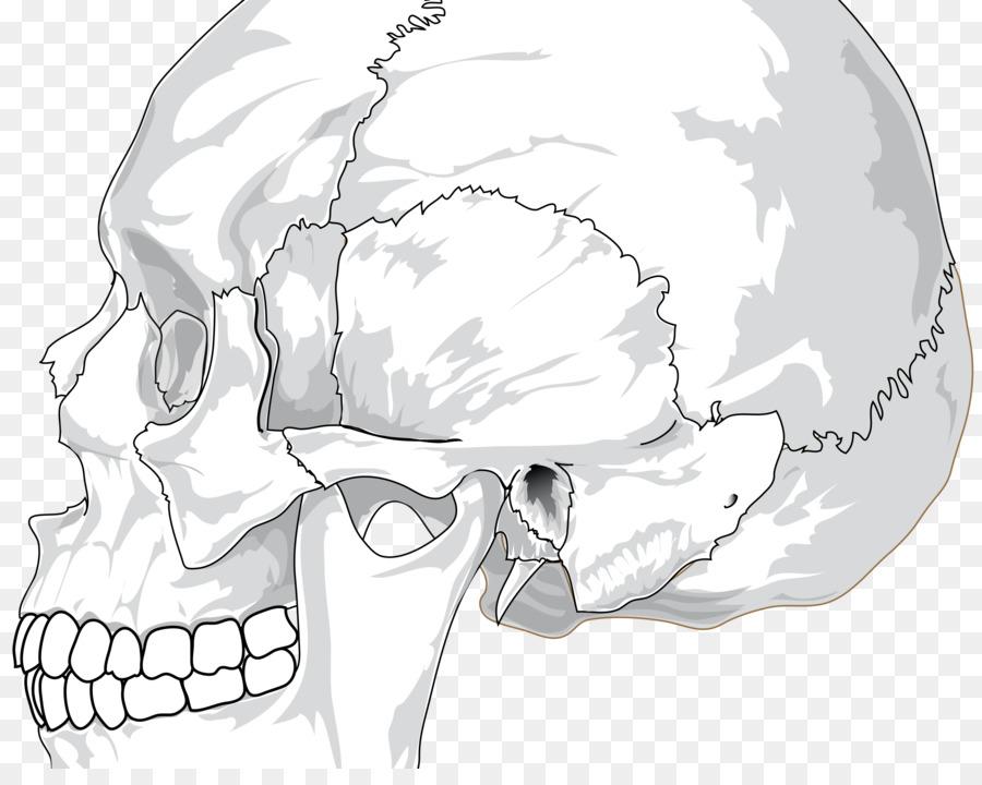 Cráneo de la Anatomía del esqueleto Humano y el sistema Nervioso del ...