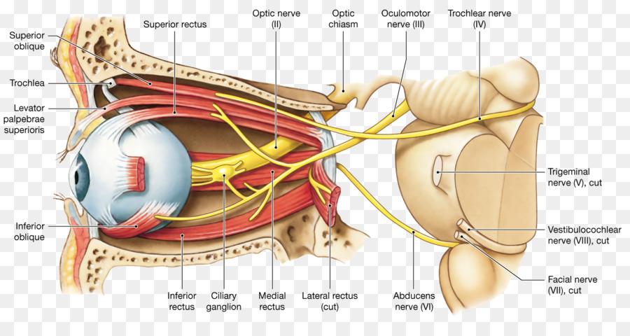 Oculomotor nerve Optic nerve Cranial nerves Human eye - Eye png ...