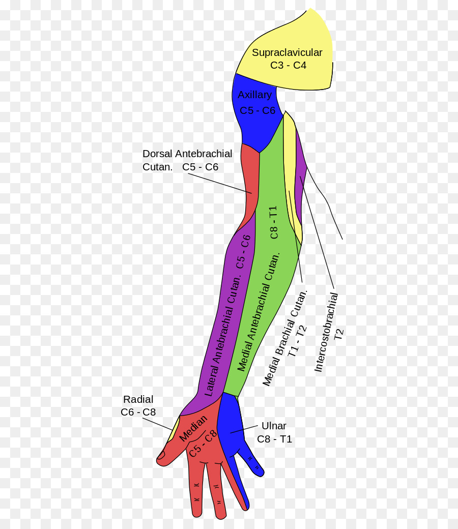 Gray\'s Anatomy Median nerve Ulnar nerve Axillary nerve - the upper ...
