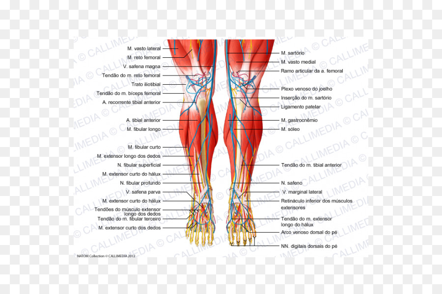 Knee Human body Muscle Tendon Nerve - respiratory tract png download ...