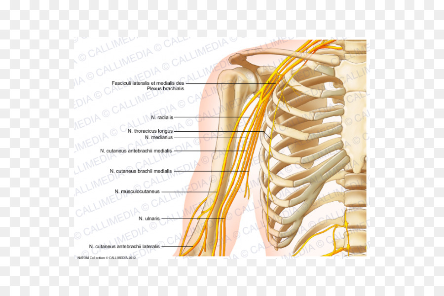 Nervous system Nerve Arm Human body Anatomy - arm png download - 600 ...