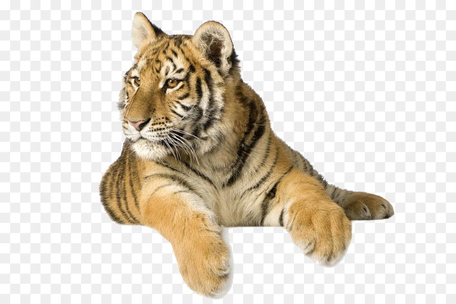 Siberian Tiger Bengal Tiger Desktop Wallpaper White Tiger