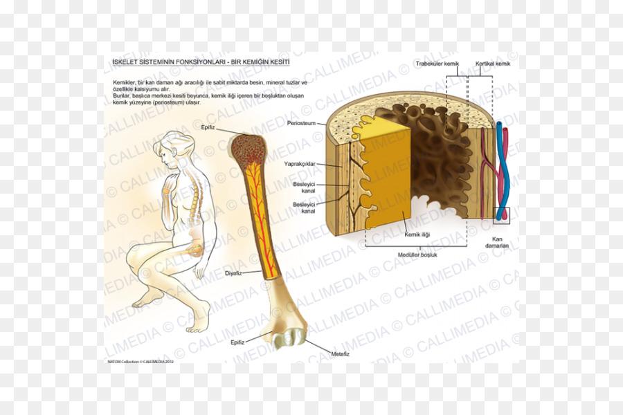 Músculo Hueso Humano de la anatomía del Esqueleto - esqueleto ...