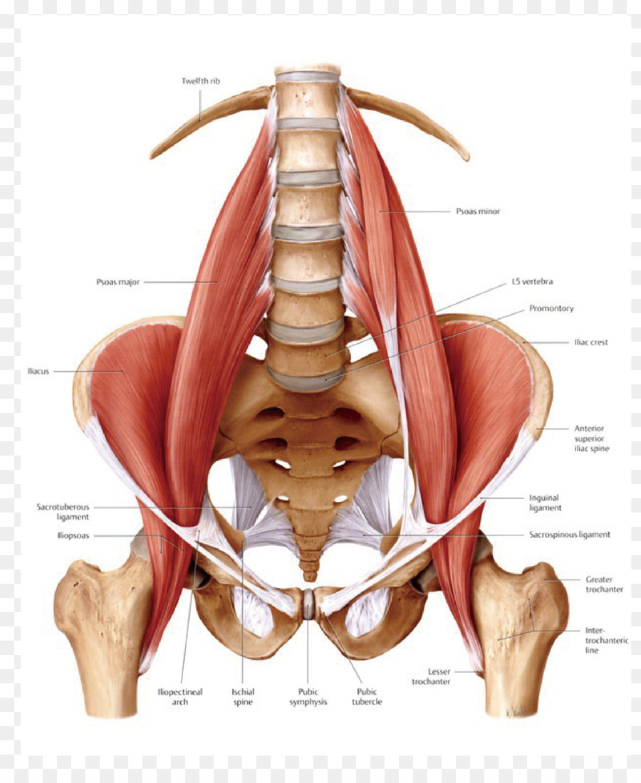 Psoas major muscle Iliopsoas Anatomy Human body - nerve roots spine ...