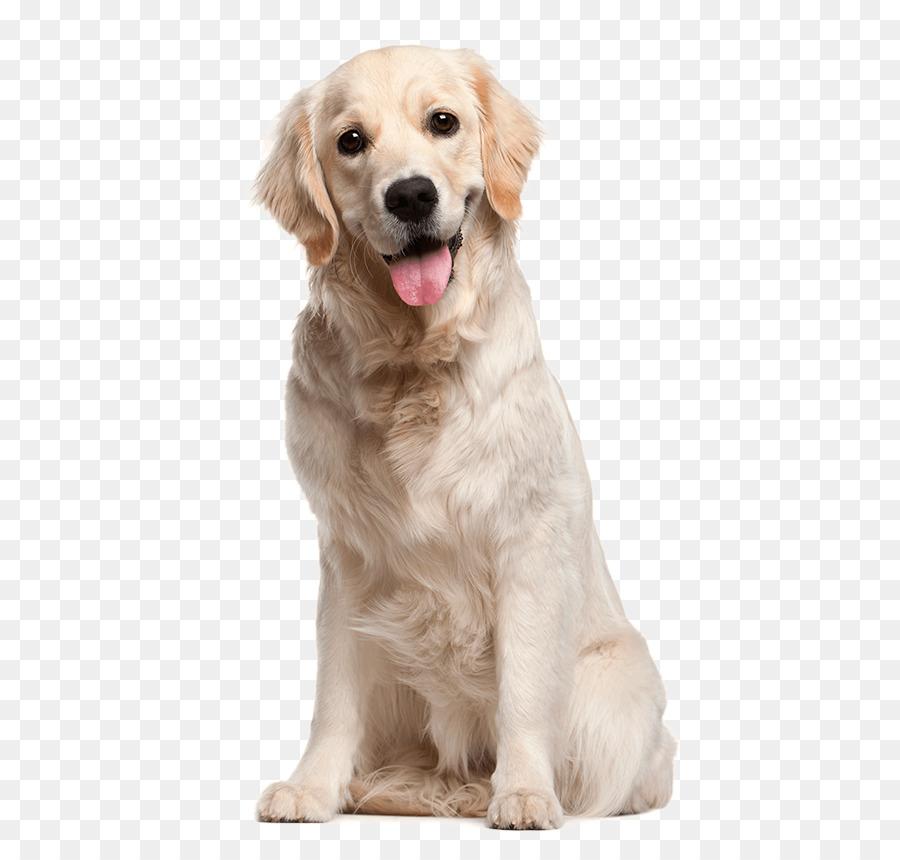 Golden Retriever Labrador Retriever Puppy Border Collie Flat Coated