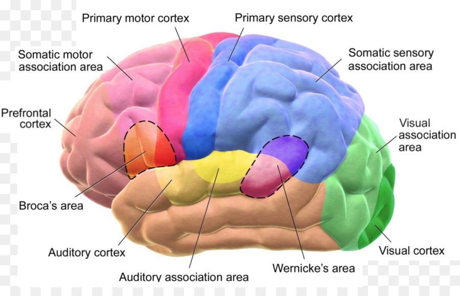 La corteza Cerebral, el área de Broca Lóbulos del cerebro, el área ...