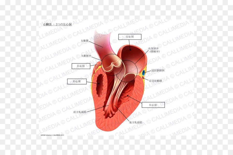 Corazón de músculo Papilar de la Anatomía del sistema Circulatorio ...