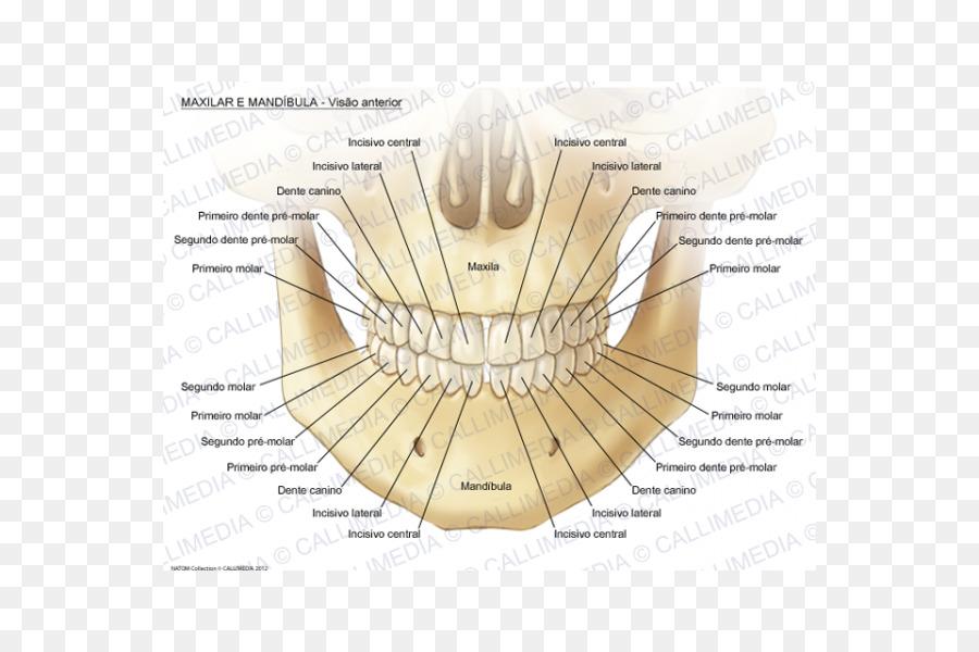 Maxilla Mandible Mandibular Nerve Anatomy Human Body Maxillary
