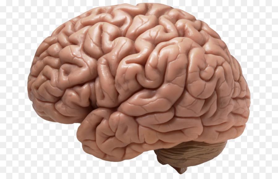 Clipart Menschliche Gehirn Portable Network Graphics ...