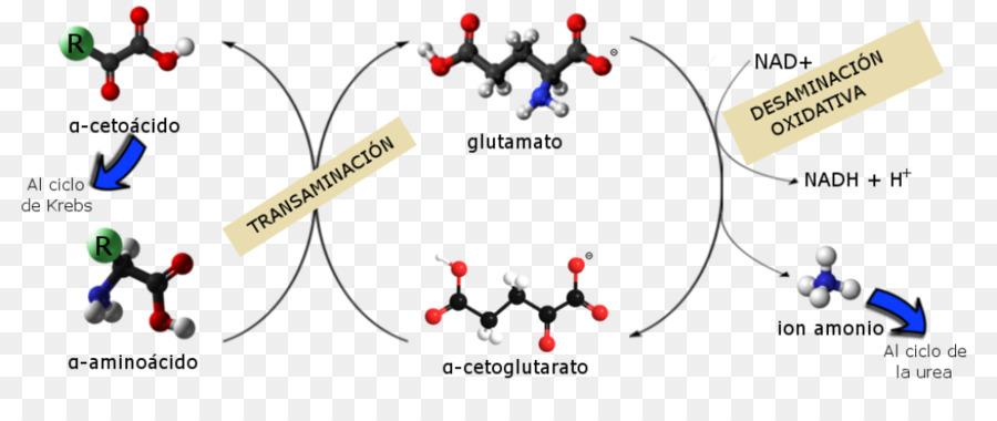 Katabolisme anabolisme metabolisme biokimia biomolecule urea png katabolisme anabolisme metabolisme biokimia biomolecule urea ccuart Choice Image