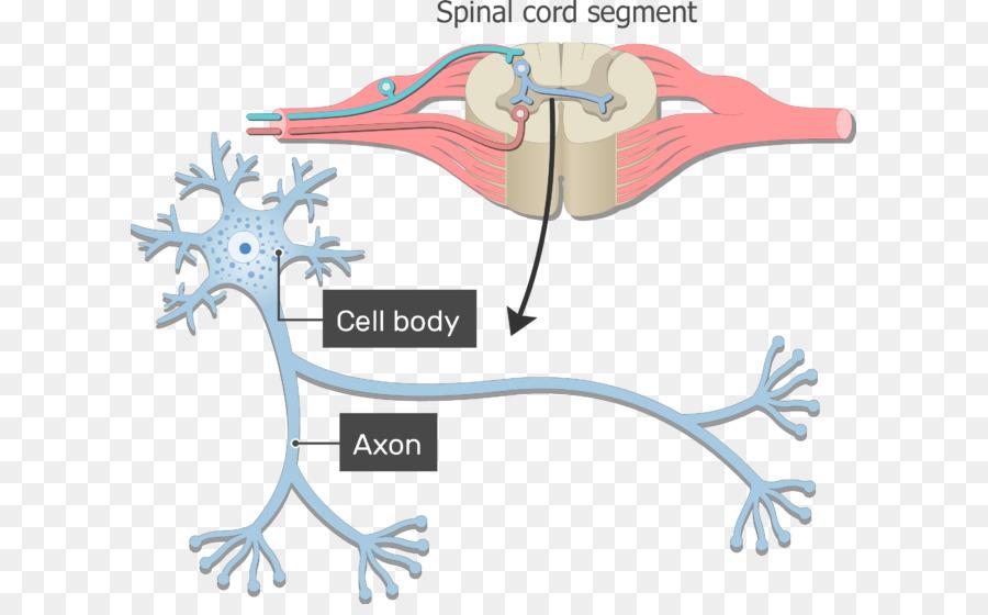 Neurona Axón Nervioso sistema Soma de los Nervios - la estructura de ...