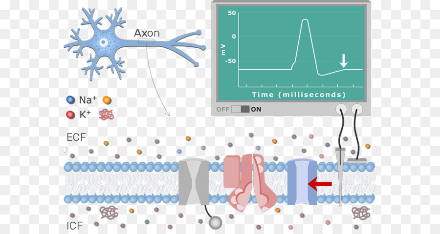 Diagram neuron istirahat potensial potensial aksi potensial membran diagram neuron istirahat potensial potensial aksi potensial membran lain lain ccuart Image collections