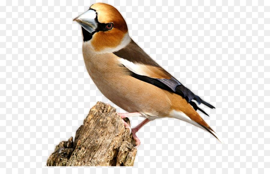 Finken Vogel Bam Schnabel Nase Vogel Png Herunterladen 613562