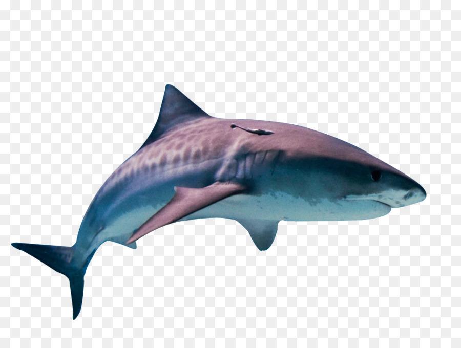 Tiburón tigre Gran tiburón blanco Peces Gato - tiburón png dibujo ...