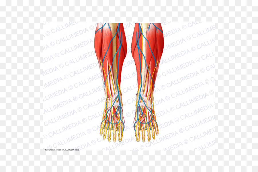 Finger Foot Muscle Human anatomy - superficial temporal nerve png ...