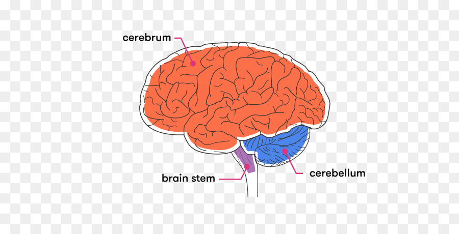 Cortex brainstem diagram wiring diagram for light switch brainstem cerebellum cerebral cortex white matter brain png rh kisspng com human brain diagram left and right brain diagram ccuart Gallery