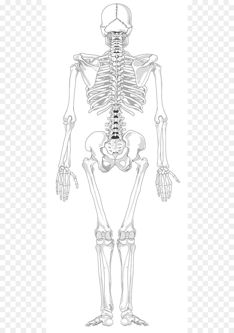 Esqueleto humano espalda Humana Hueso al cuerpo Humano - esqueleto ...