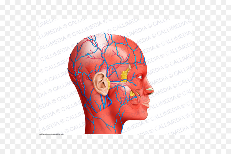 Nose Muscle Blood Vessel Human Anatomy Head Nose Png Download