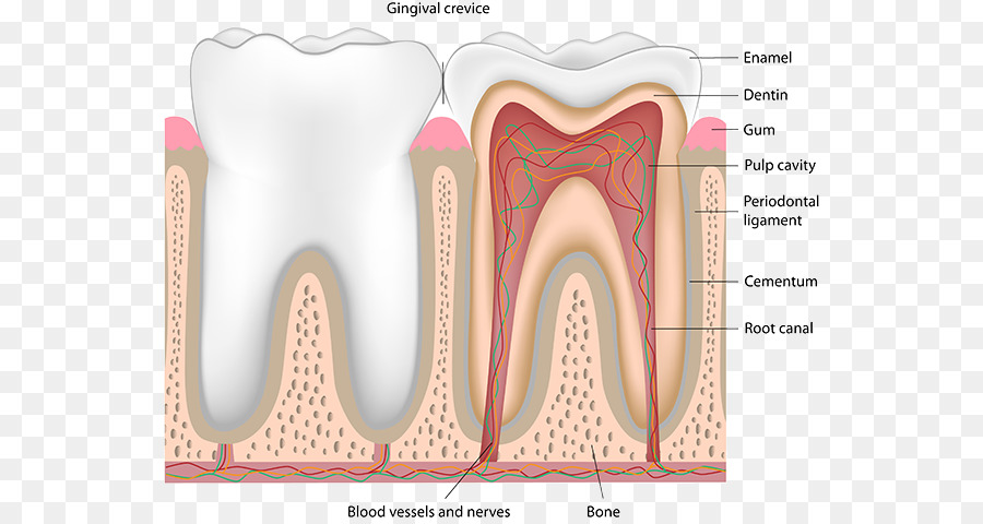 Human Tooth Pulp Dentistry Nerve Blood Vessel Dental Anatomy Of