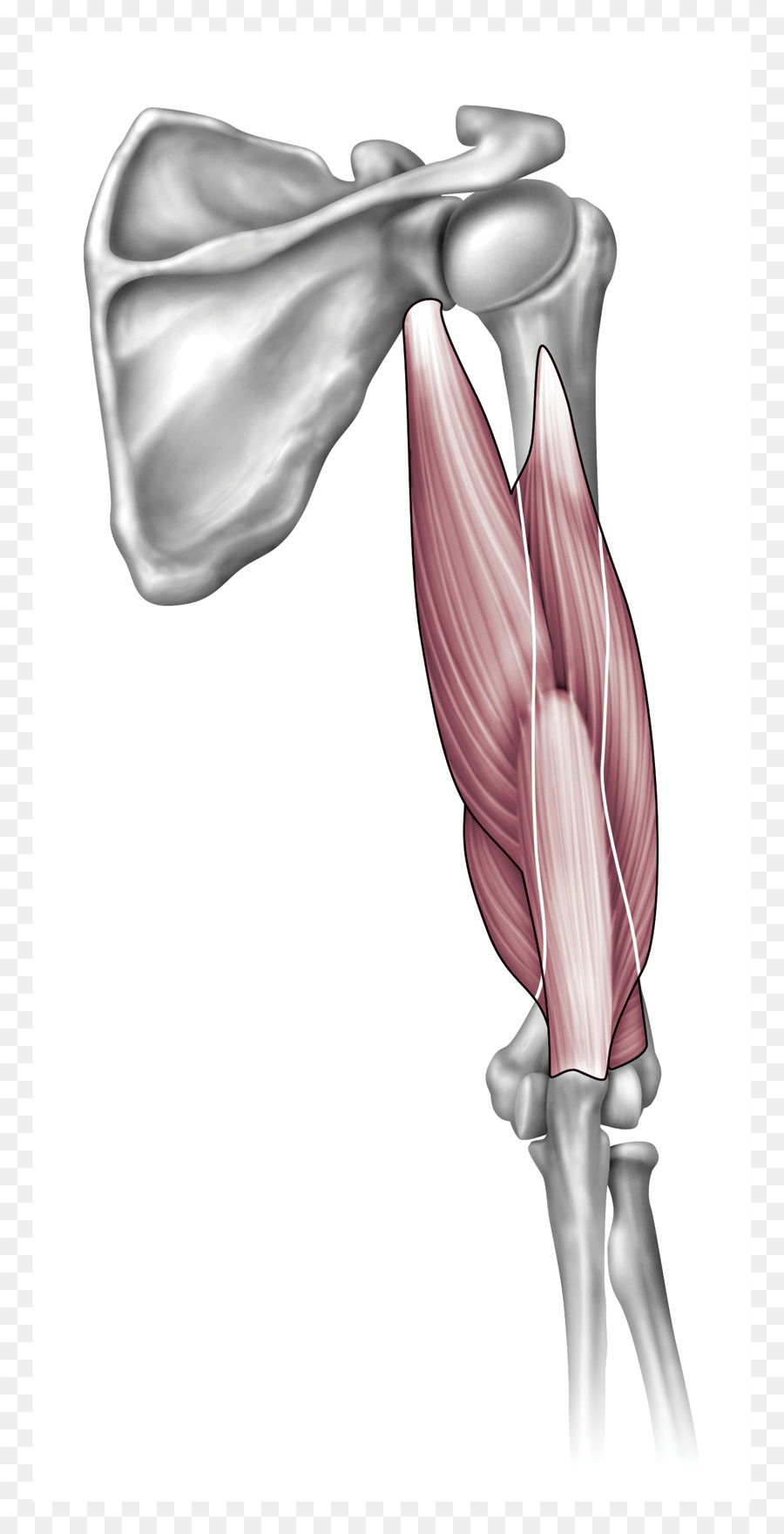 Shoulder Anatomy Arm Elbow Joint - arm png download - 825*1760 ...