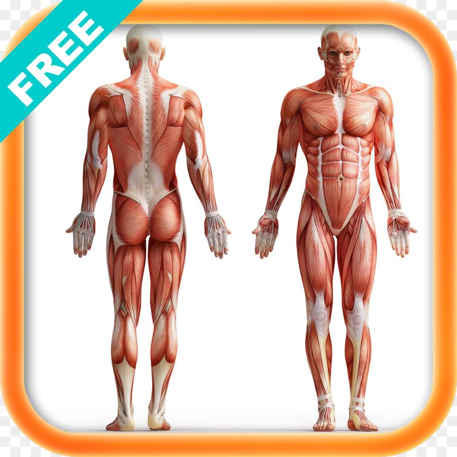 Anatomía del músculo Torso de la Musculatura del cuerpo Humano ...
