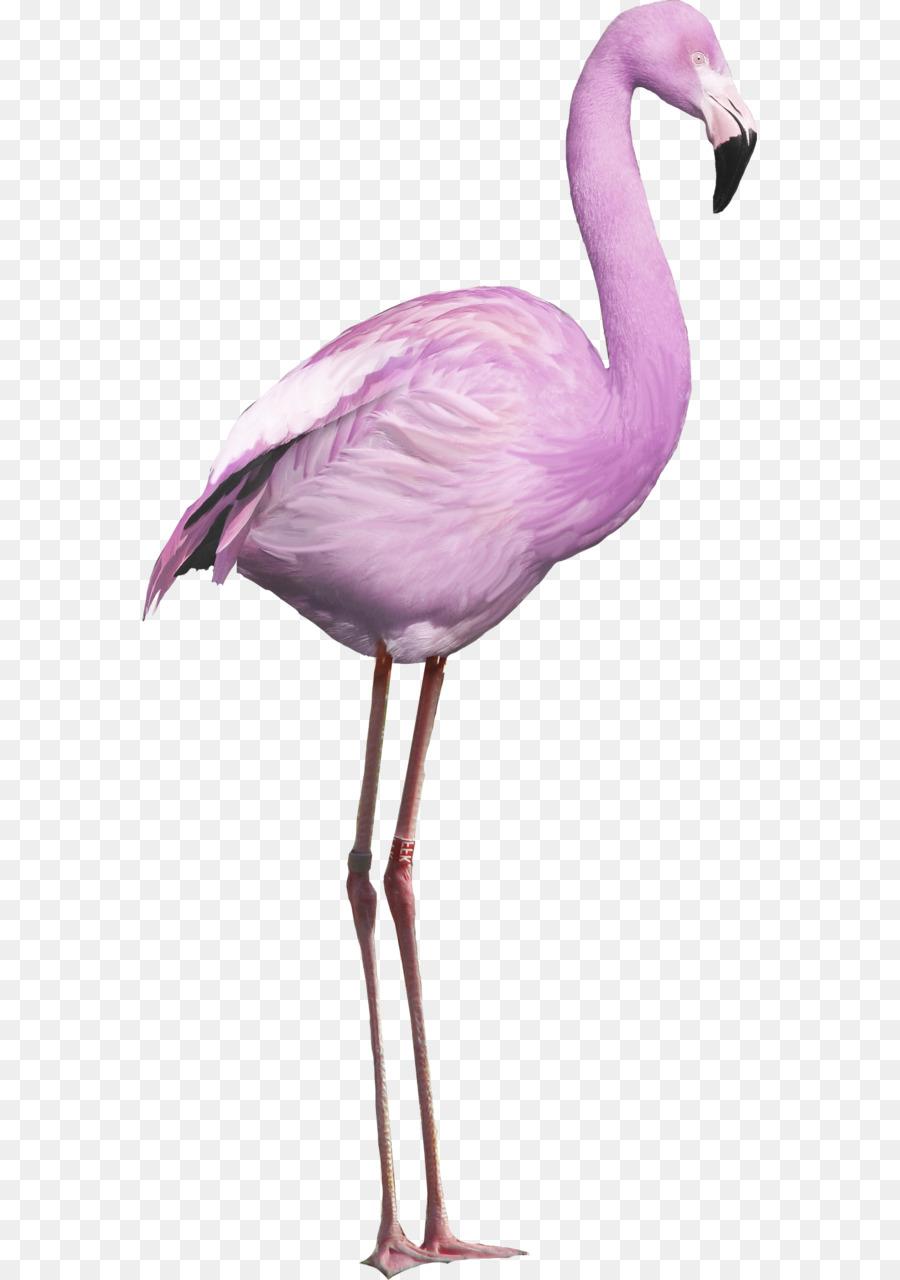 pássaro flamingo americano flamingo portable network graphics aves