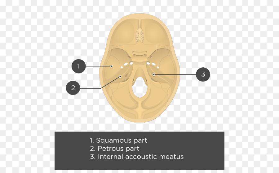Temporal bone Anatomy Skull Meatus - Squama png download - 548*550 ...