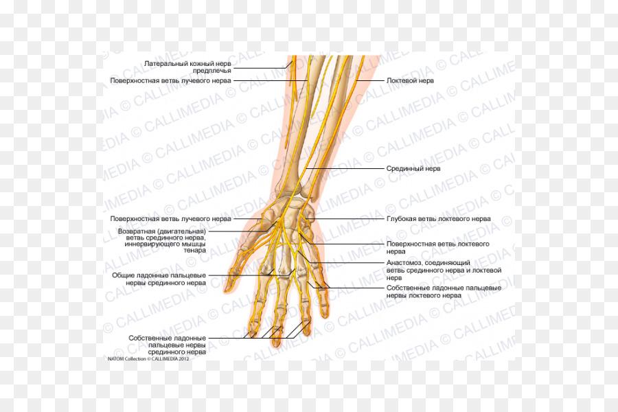 Ulnar nerve Forearm Human anatomy Hand - hand png download - 600*600 ...