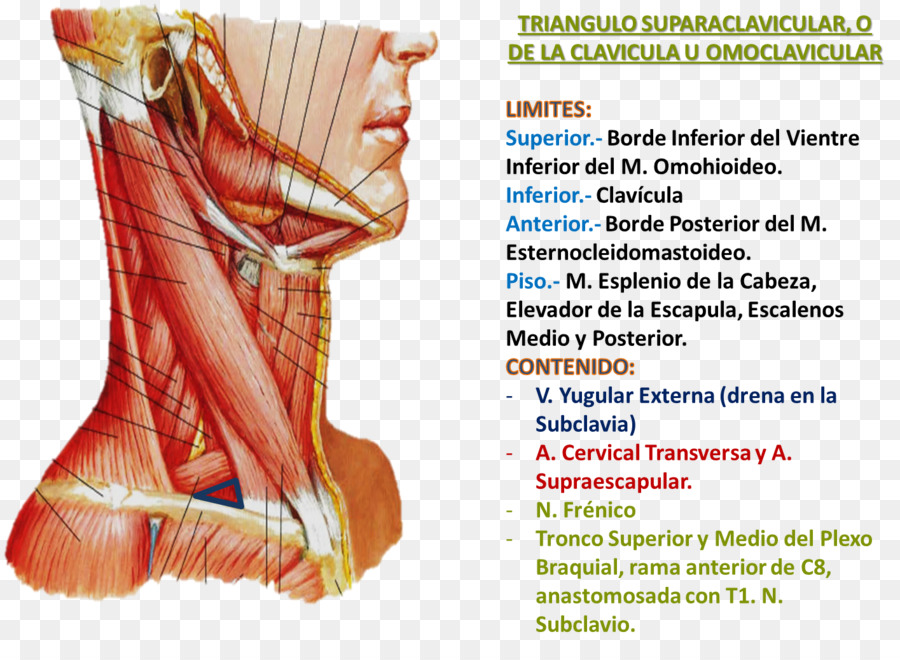 Posterior triangle of the neck Anatomy Posterior triangle of the ...