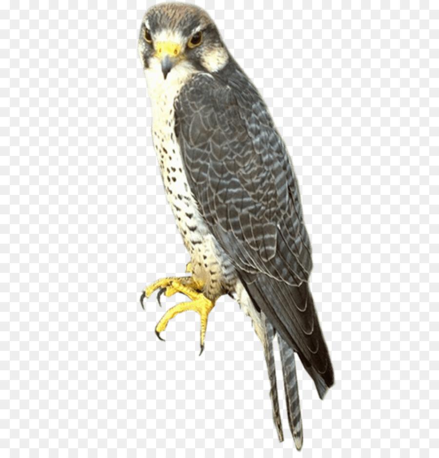 portable network graphics falcon imagem de clip art pássaro falcão