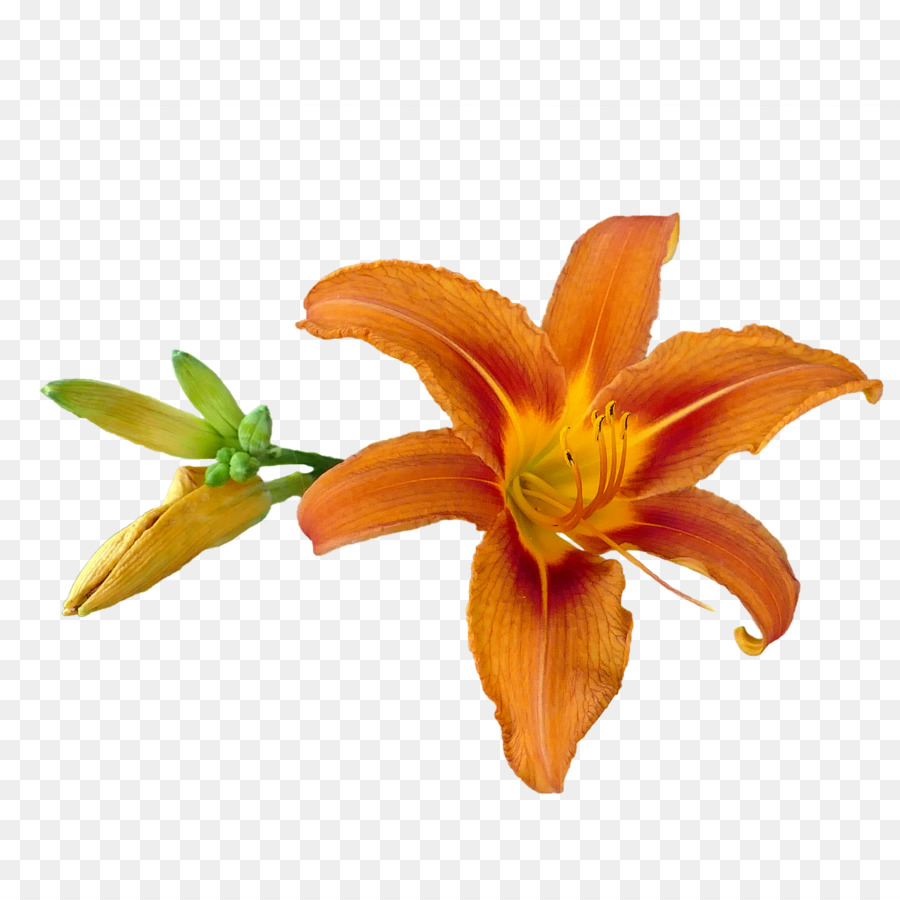 Image Tiger Lily Orange Lily Photography Tiger Png Download 1280