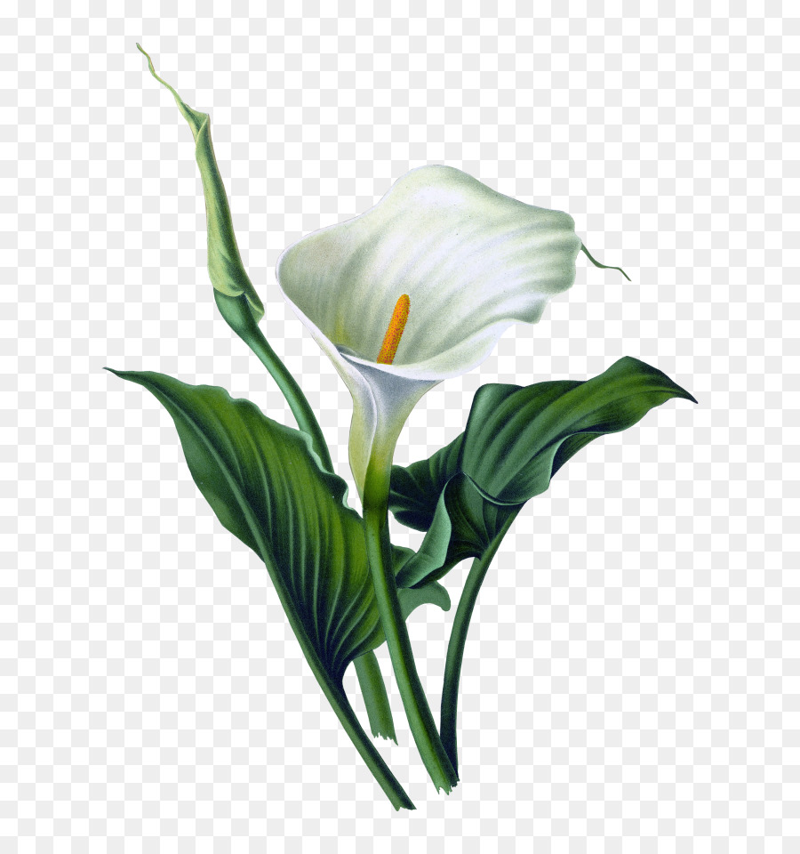 Arum Lily Drawing Flower Canvas Lily Png Download 768960 Free
