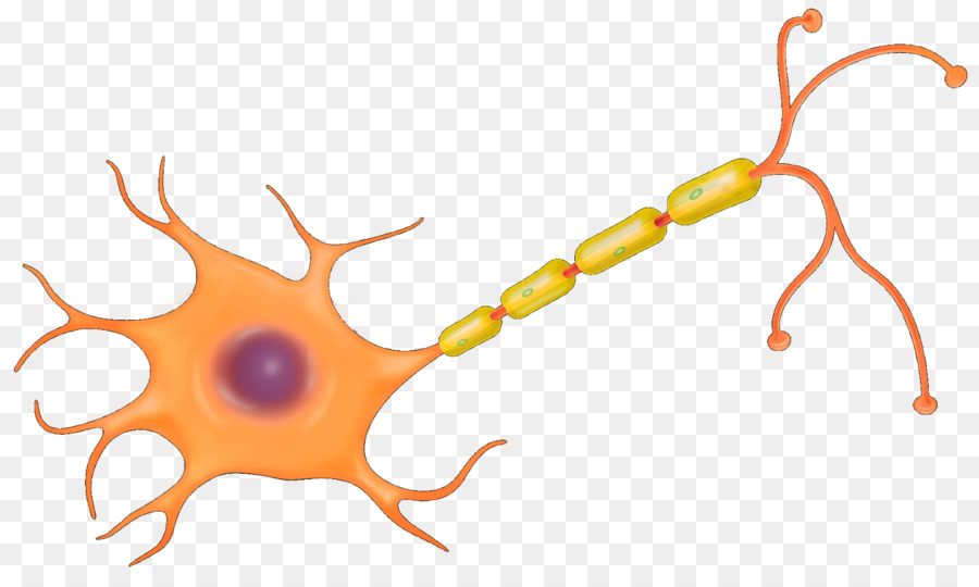 The Neuron Nerve Cell Nervous system - Brain png download - 1600*953 ...