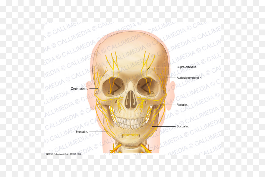 Nerve Head and neck anatomy Anterior triangle of the neck - skull ...