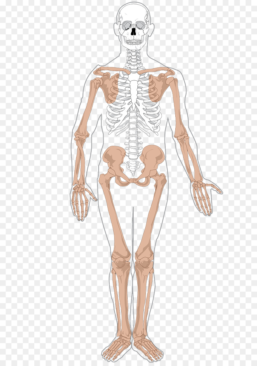 Human skeleton Human body Anatomy Axial skeleton - Skeleton png ...