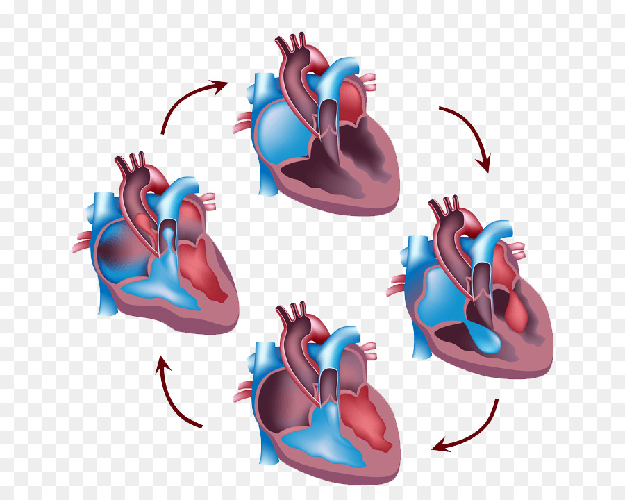 Cardiac Cycle Heart Circulatory System Systole Human Body Heart