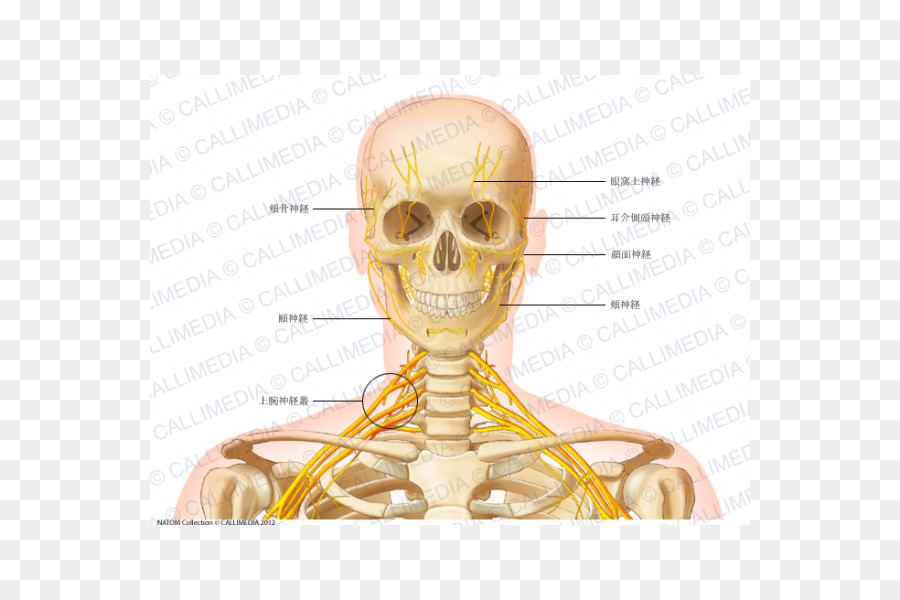 Head And Neck Anatomy Vein Human Body Auriculotemporal Nerve Png