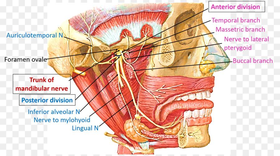Mandibular Nerve Trigeminal Nerve Mandible Anatomy
