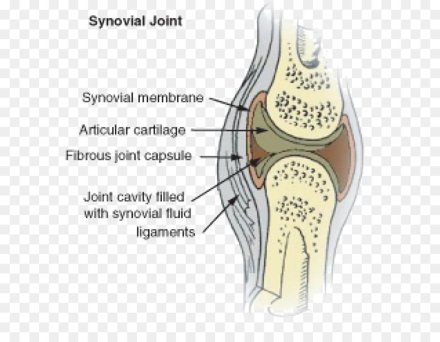 Synovial Joint Synovial Membrane Synovial Fluid Knee Skeletal