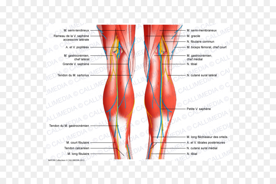 Knee Human Body Anatomy Tendon Ligament Apparatus Png Download