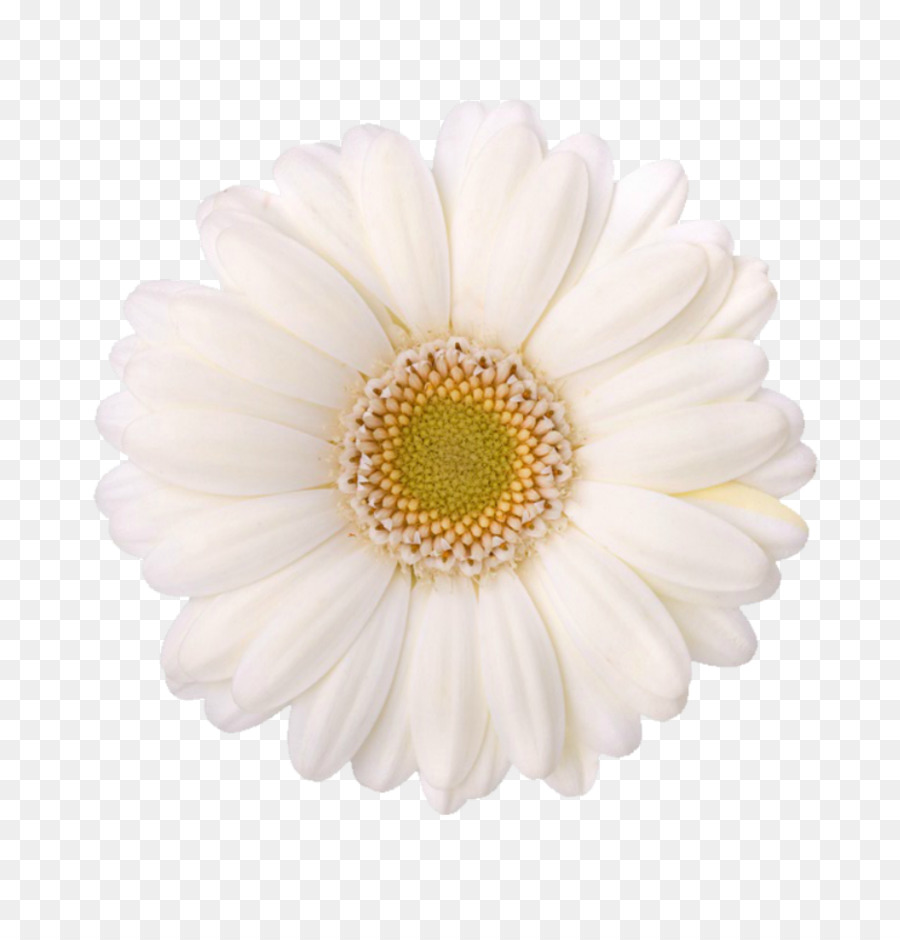 Chrysanthemum Child Care Oxeye Daisy Transvaal Daisy Pre