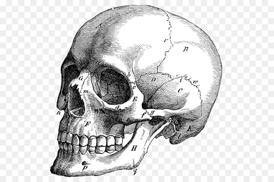 Cráneo de gráficos Vectoriales de Ilustración de Dibujo de Anatomía ...