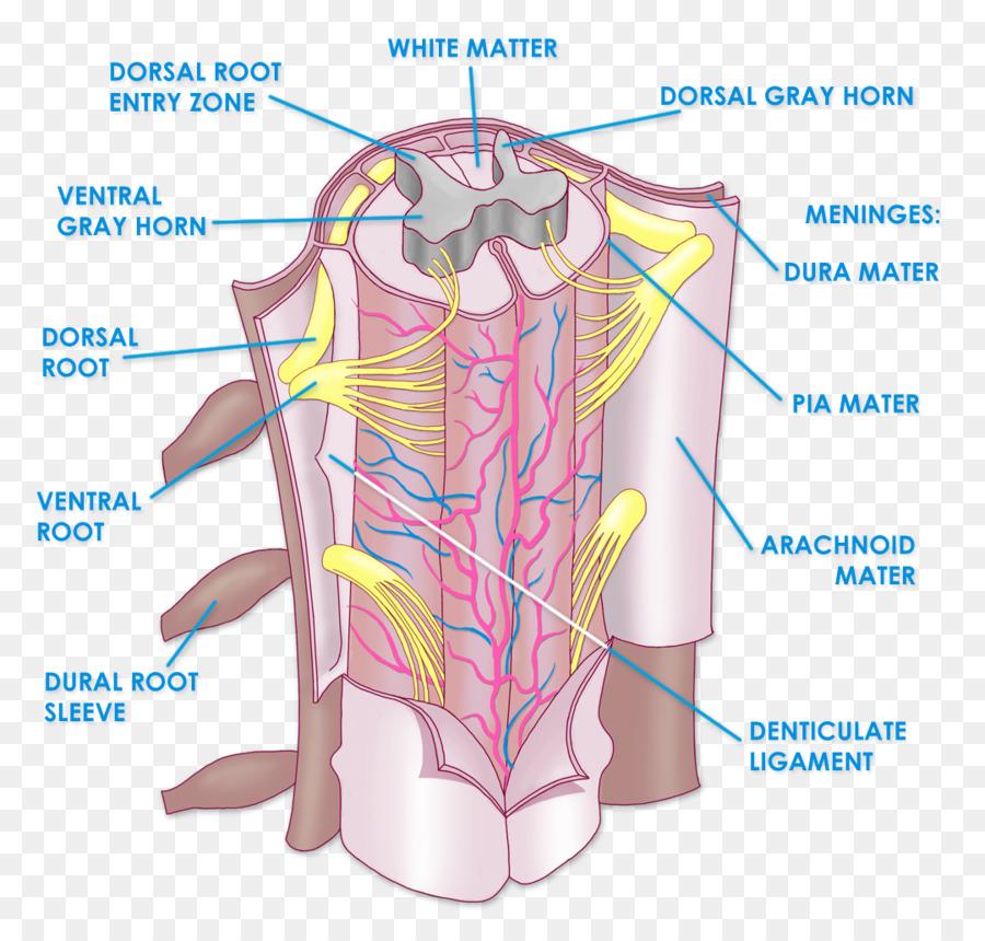 Anatomía de la médula espinal de la columna Vertebral, el sistema ...