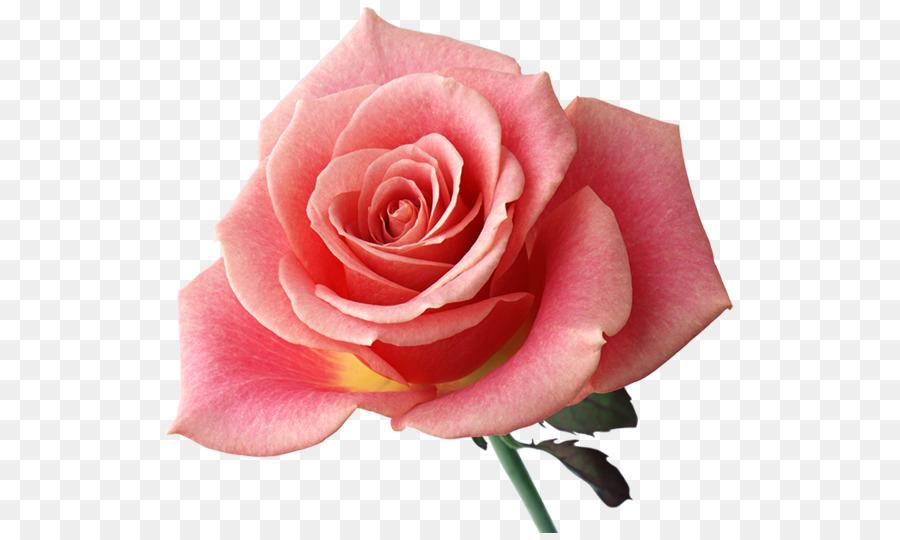 Arco íris Flor De Rosa Desenho Da Imagem Rosa Transparente Rosa